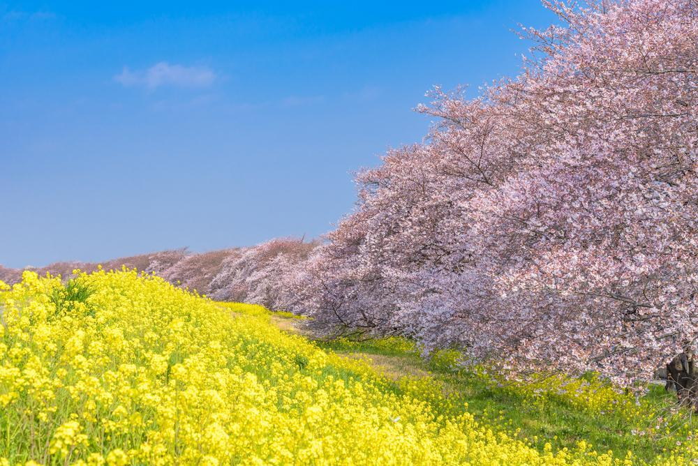 Admirer les cerisiers en fleurs