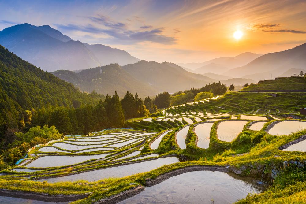 Culture de thé en terasses à Maruyama