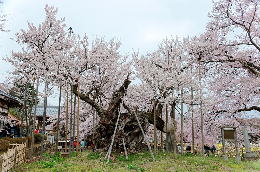 Jindai-zakura de Yamataka (Yamanashi)