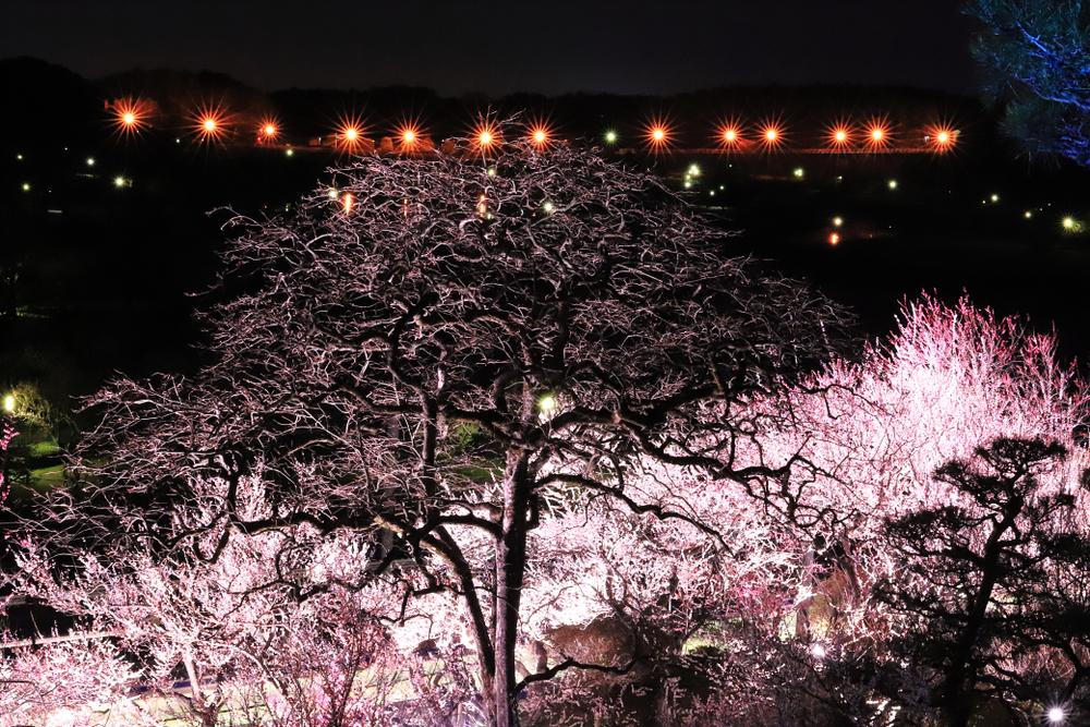 Festival des fleurs de pruniers