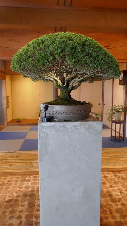 Bonsai Deepening Roots à Megijima