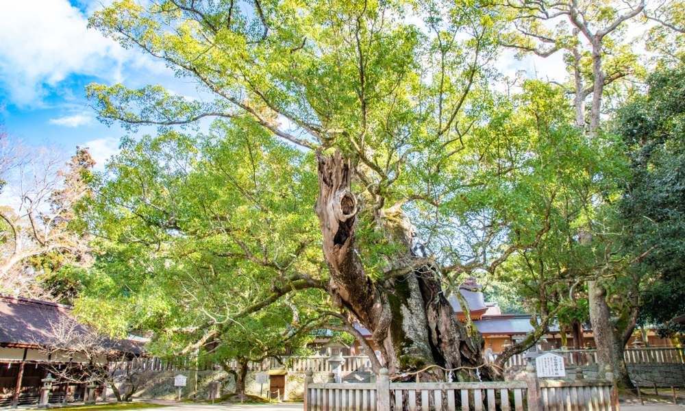"sacred tree of ""Kusu"""