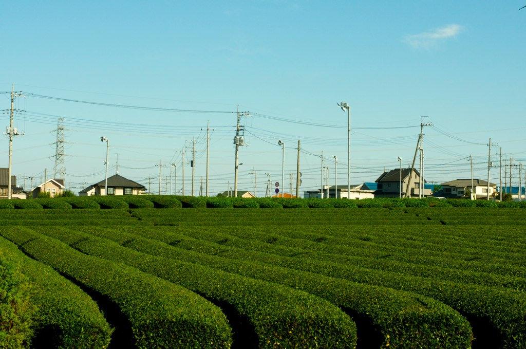 Plantation de thé de Sayama