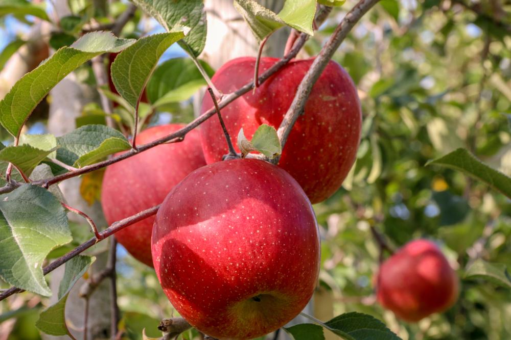 Juteuses pommes dans un verger d
