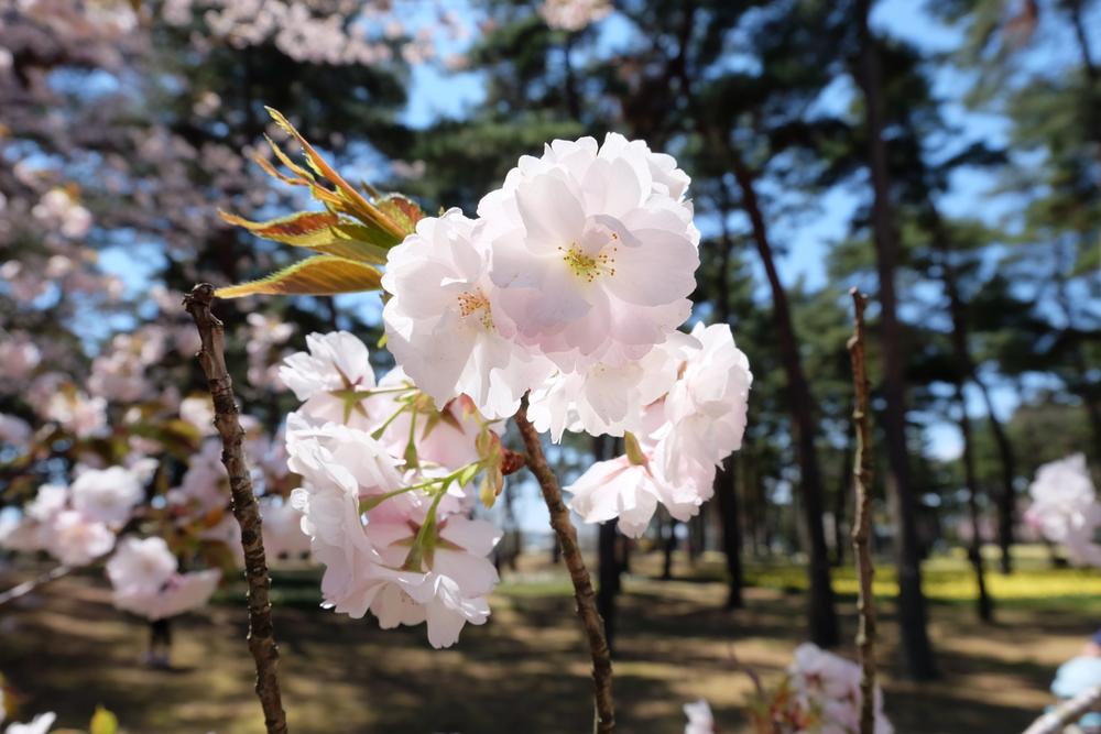 Festival des cerisiers de Hitachi