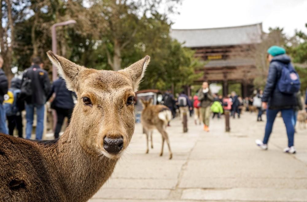 Zoom sur un daim au parc de Nara