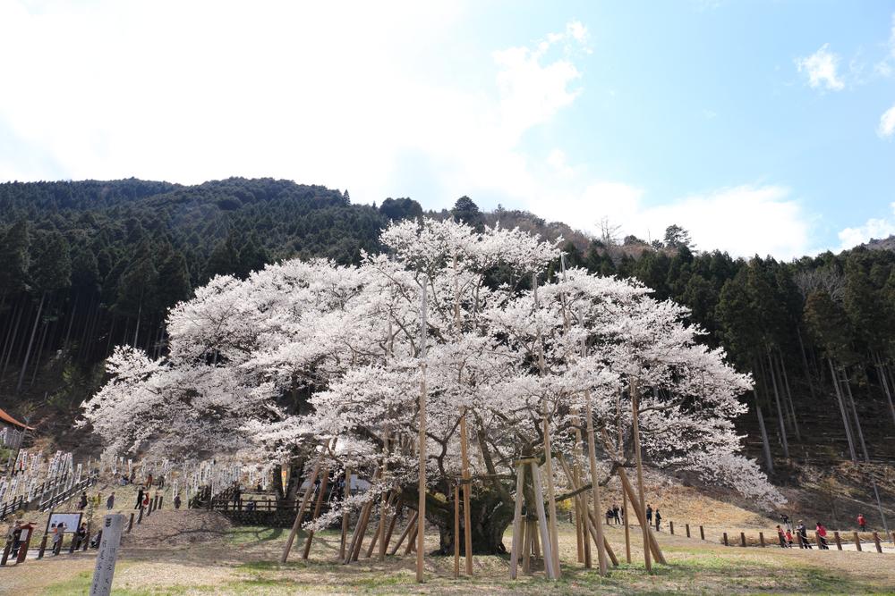 Usuzumi-zakura de Neodani (Gifu)