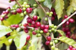 ハワイ島 コナコーヒー焙煎体験ツアー
