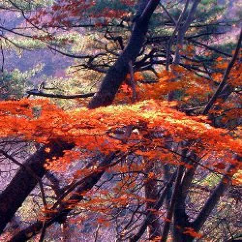 Koyo (紅葉): L'automne au Japon