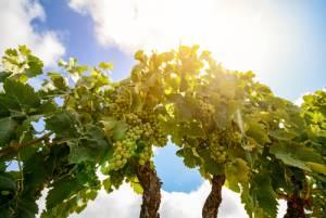 緑のワイン