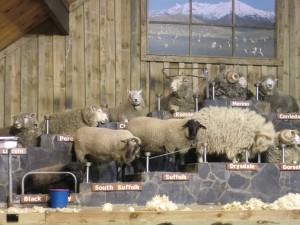 羊の毛刈りショー