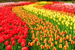 オランダのチューリップ・風車&北方ルネサンス&3ヵ国の美術館を巡る旅  8日間  ~オランダ・ベルギー・フランス~