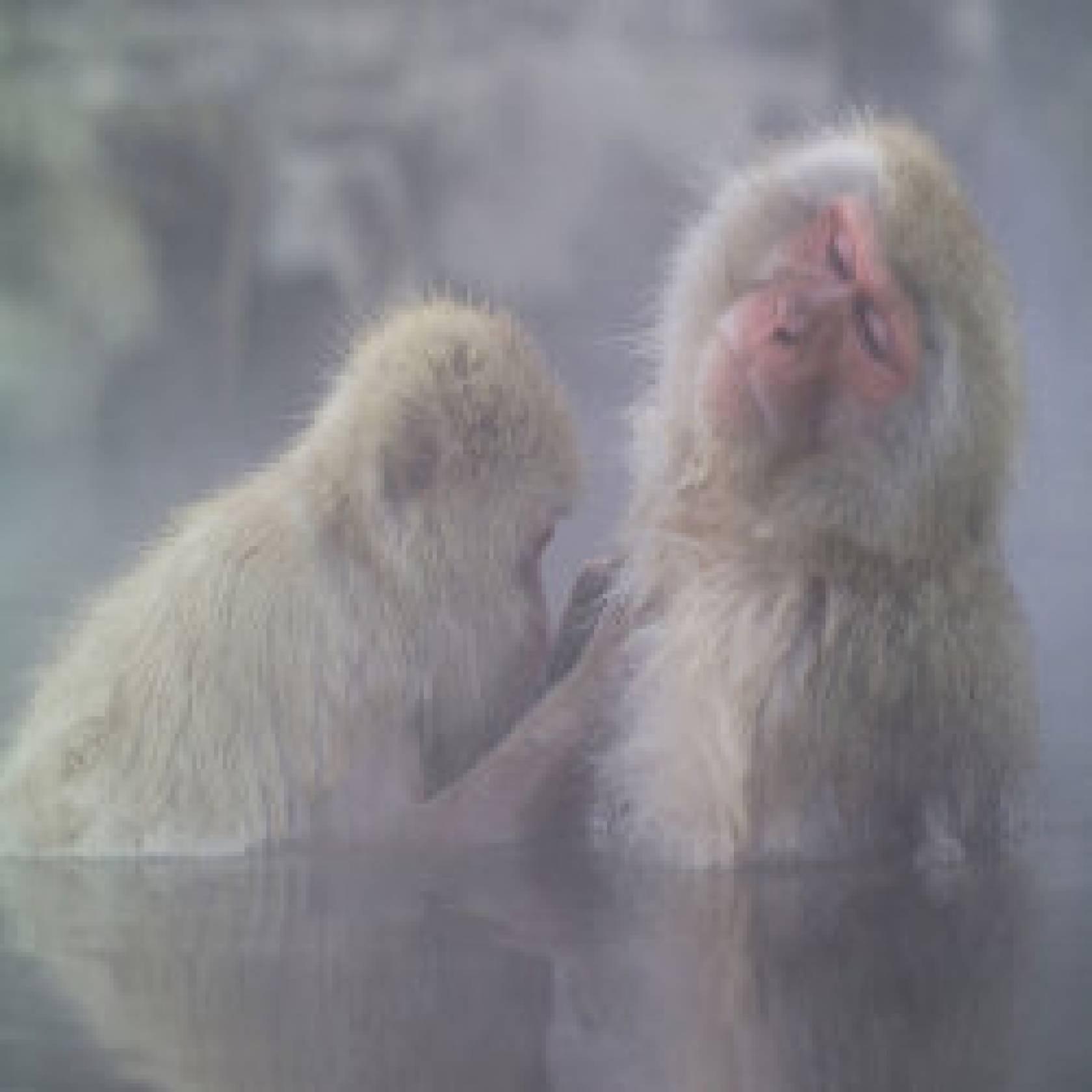 Winter in Japan: SNOW MONKEYS bath in Japanese hot springs ONSEN