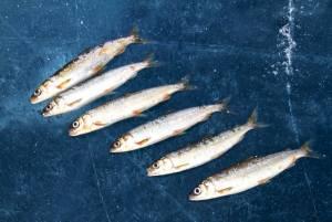 バイカル湖にしか生息しない魚オームリ