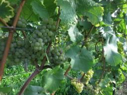 【ドイツワインの旅】世界遺産ミドルラインを歩く!ワイン&ウォーキング 1日
