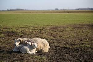 人よりも羊の方が多い?テッセル島