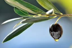 【11-12月限定】オリーブ収穫&古代遺跡巡り ギリシャ5日間