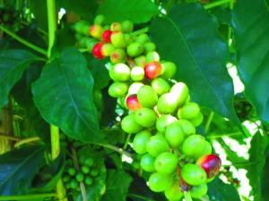 ハワイ島のおすすめコーヒー農園!~村松小農園~