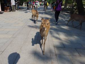 Why are there so many deer in the city of Nara?
