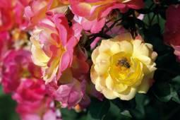 見渡す限りのバラに囲まれるヨーロッパ・バラ園とザクセンの文化都市紀行 5日間