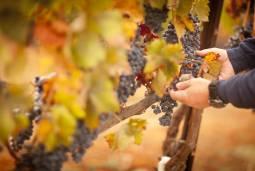 【9/24(土)限定催行】ドレスデンでワインショップを営むワイン専門家がご案内!フランケン地域でぶどう収穫体験ツアー~ワイナリー見学付~ 1日【3名様以上グループツアー】