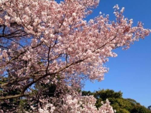 Sakura Fleurs De Cerisiers Previsions Des Dates Pour 2013 Au Japon
