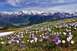 もうすぐ春!スイスのお花畑でハイキングはいかがですか?