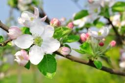 愛らしいりんごの里へ 広大な果樹園アルテスラントと北ドイツをめぐる 5日間