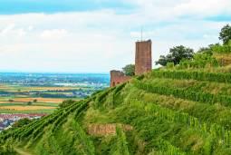 【ハイデルベルク発着】ドイツの森の歩き方、地元ワイナリーで収穫体験!~ワイン試飲付き~半日ツアー